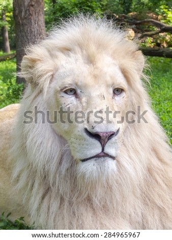 Portrait of a White South African lion (Panthera leo krugeri) male