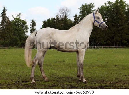 Portrait of a white stallion