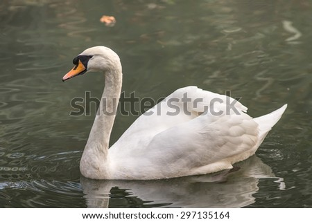 Portrait of a white swan in the green water - stock photo