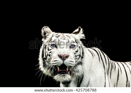 Portrait of a White Tiger with blue eyes isolated on black background - stock photo