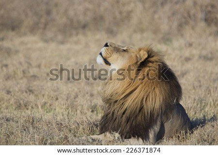 Portrait of a wild african lion