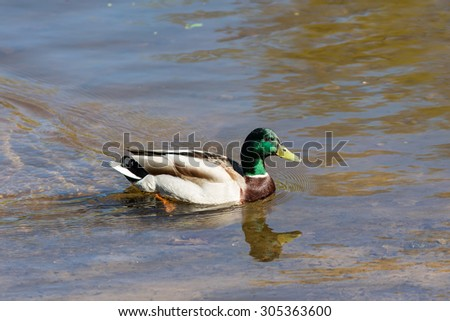 Portrait of a wild duck in water - stock photo