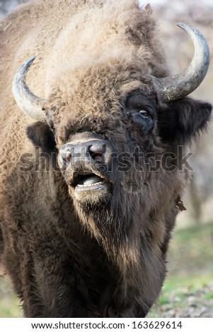 Portrait of a wild European bison (Bison bonasus). - stock photo