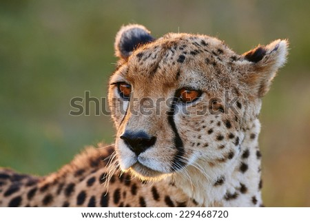 Portrait of a wild female cheetah - stock photo