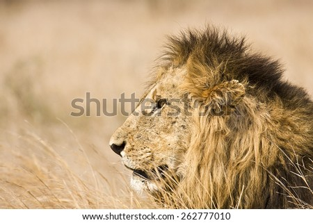 portrait of a wild male lion in savannah, Kruger park South Africa - stock photo