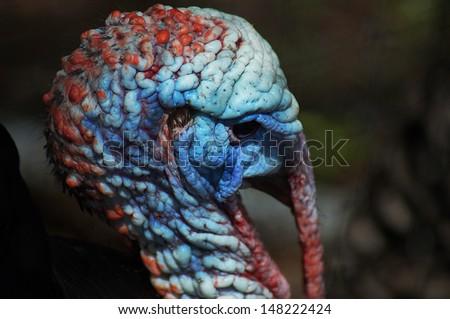 Portrait of a wild turkey - stock photo