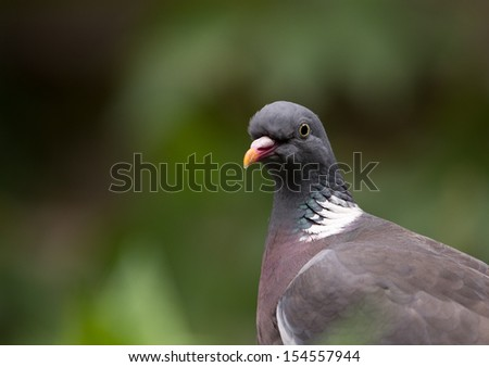 portrait of a wood pigeon - stock photo