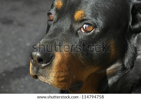 Portrait of a 5-year old  rottweiler - stock photo