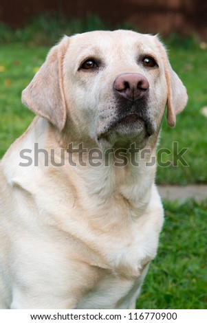 Portrait of a yellow labrador retriever five years old - stock photo