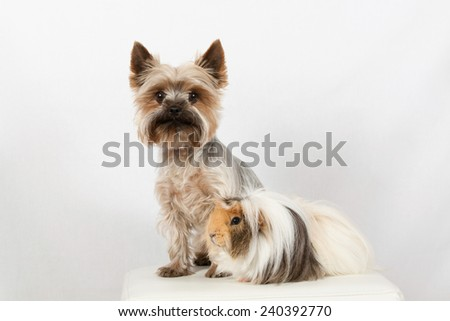 Portrait of a Yorkshire terrier and a guinea pig on a white background - stock photo