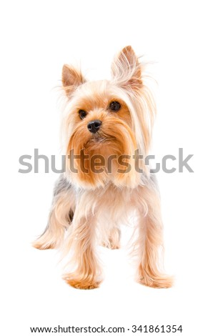 Portrait of a Yorkshire terrier standing isolated on white background - stock photo