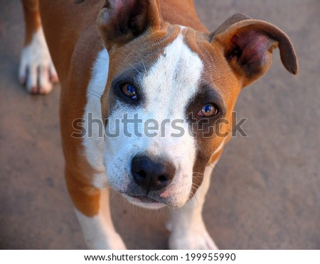 portrait of a young American Staffordshire Terrier looking at the camera - stock photo