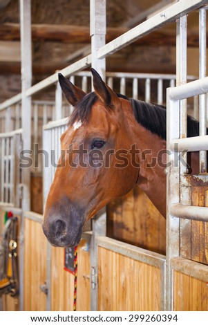 Portrait of a young brown stallion in stable - stock photo