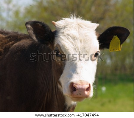 Portrait of a young calf      - stock photo
