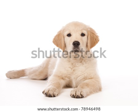 Portrait of a young, charming  Golden Retriever in the studio - stock photo