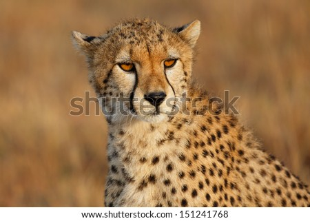Portrait of a young Cheetah in Masai Mara, Kenya, Mother: Narasha - stock photo