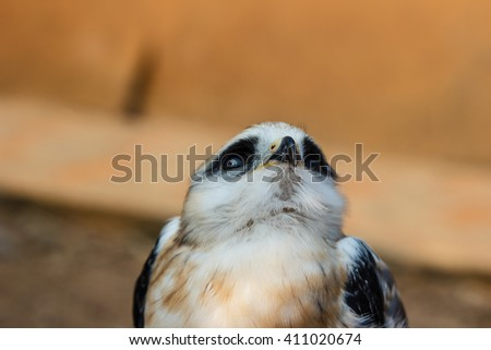 Portrait of a young falcon bird - stock photo