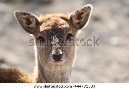 Portrait of a young female deer