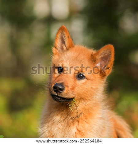 Portrait of a young Finnish Spitz - stock photo