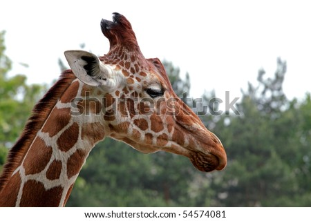 Portrait of a young giraffe, nature background