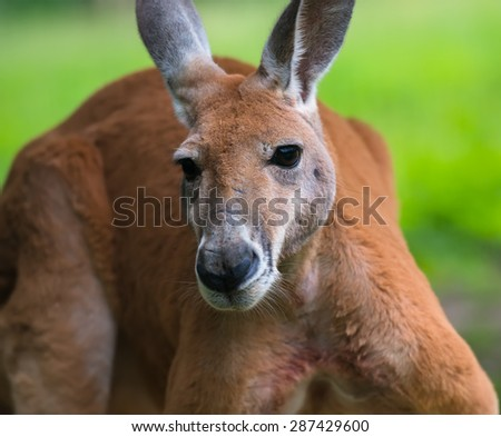 Portrait of a young kangaroo in nature - stock photo