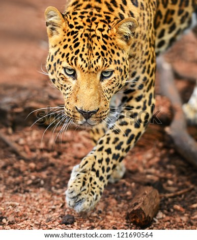 Portrait of a young leopard - stock photo