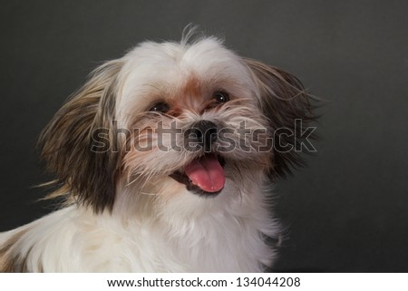 Portrait of a young little dog on a dark background