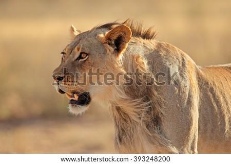 Portrait of a young male African lion (Panthera leo), Kalahari desert, South Africa - stock photo