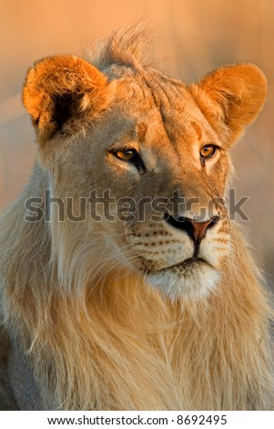 Portrait of a young male African lion (Panthera leo), Kalahari desert, South Africa