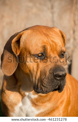 Portrait of a young male Boerboel dog looking towards his left.