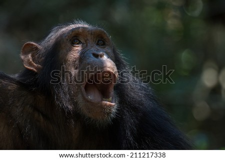 Portrait of a young male Eastern chimpanzee in natural habitat - stock photo