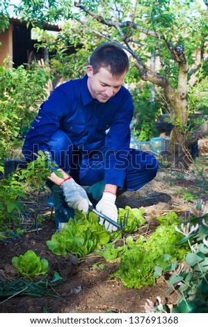 Portrait of a young man raking soil near salad - stock photo