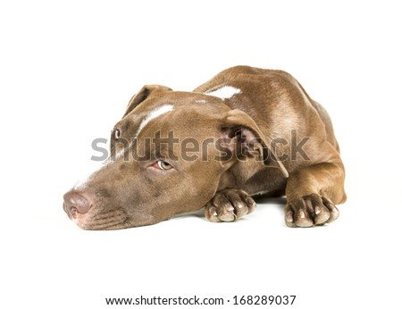 Portrait of a young Pitt Bull and Labrador Retriever mix lying down isolated on white.