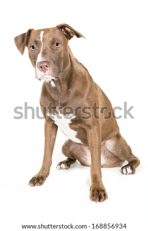 Portrait of a young Pitt Bull and Labrador Retriever mix sitting and  isolated on white. - stock photo