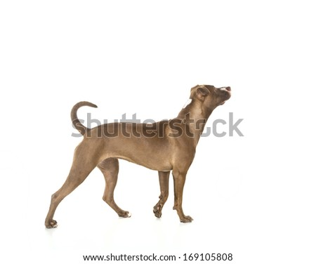 Portrait of a young Pitt Bull and Labrador Retriever mix standing in  profile and isolated on white. - stock photo