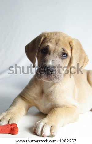 Portrait of a young pup with a dog biscuit. - stock photo