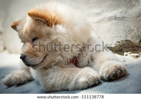 Portrait of a young puppy chow chow - stock photo