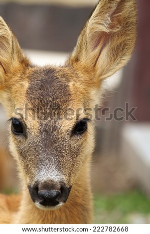 portrait of a young roe deer calf ( Capreolus ) at the zoo