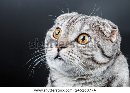 portrait of a young Scottish Fold cat. Place on the black background can be used for the text - stock photo