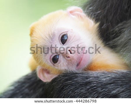 Portrait of a Young Silver Leaf Monkey