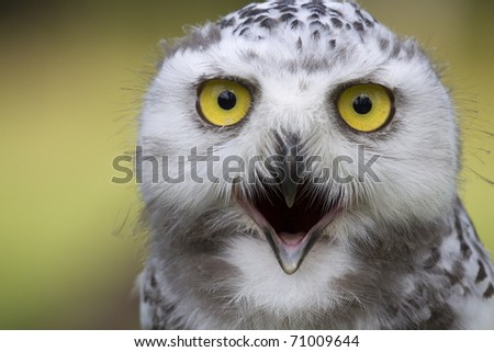 portrait of a young snow owl with open beak - stock photo