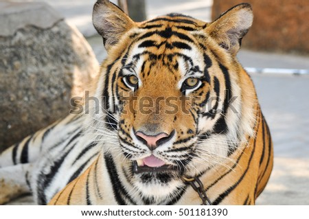 Portrait of a young tiger
