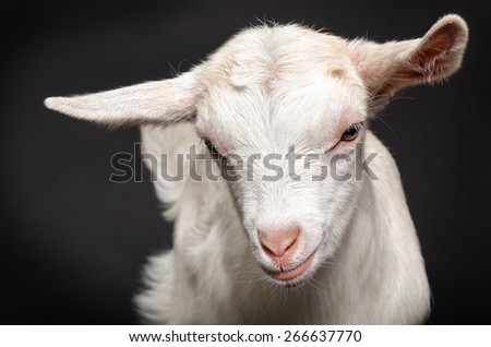 Portrait of a young white goat, closeup, on a black background - stock photo