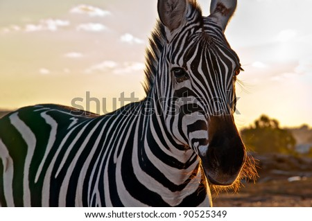 Portrait of a  zebra .
