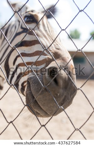 Portrait of a zebra in a zoo behind a fence
