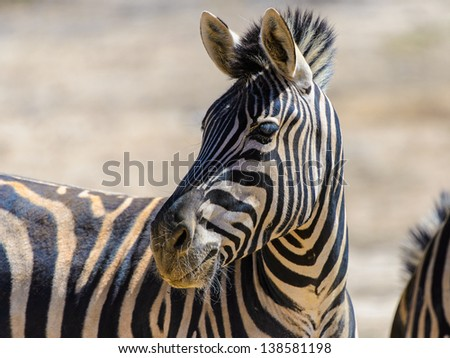 Portrait of a zebra looking on the left