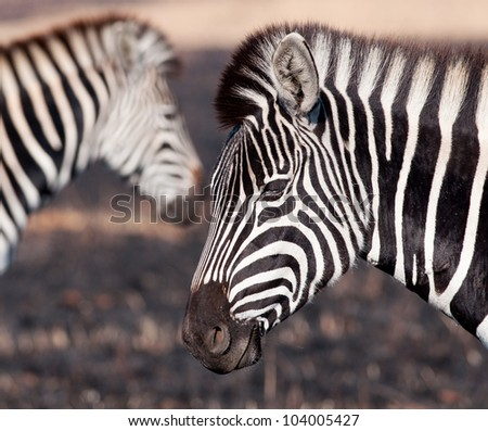 Portrait of a zebra with an out of focus head in the background with contrasting veld