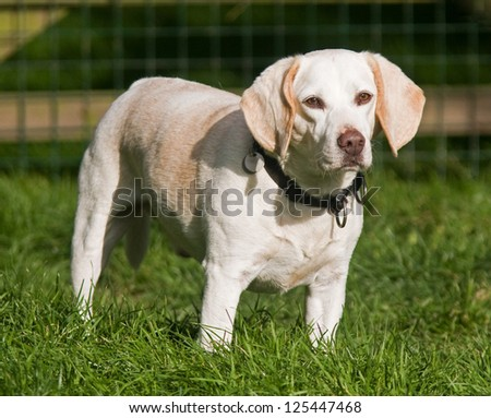 Portrait of adorable Beagle dog standing in a grass paddock. - stock photo