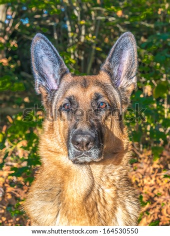 Portrait of adorable  german shepperd dog. - stock photo