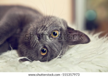 Portrait of adorable gray kitten close up